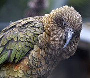Destructive Prints - Kea Print by Bob Gibbons