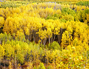 Kebler Pass Aspens Print by Mike Norton