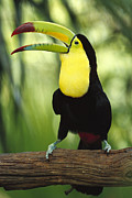 Color Yellow Framed Prints - Keel Billed Toucan Calling Framed Print by Gerry Ellis