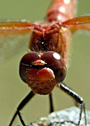 Macro Dragonfly Picture Posters - Keeping my Eyes on you Poster by Don Mann