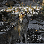 Wolves Photos - Keeping Watch by Ernie Echols