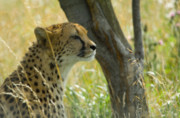 Cheetah Photo Originals - Keeping Watch by Gary Maynard