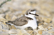 Animal Behaviour Art - Kentish Plover Incubating Egg by Konrad Wothe