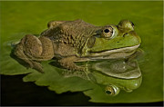 Lilly Pad Photos - Kermit by Susan Candelario
