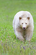 Kermode Framed Prints - Kermode Bear Framed Print by Brandon Broderick