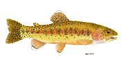 Salmon Paintings - Kern River Rainbow Trout by Thom Glace