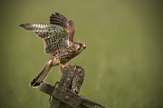 Wildlife Photography Prints - Kestrel Print by Andy Astbury