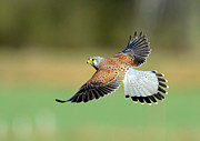 Mid-air Photo Framed Prints - Kestrel Bird Framed Print by Mark Hughes