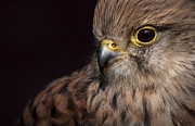 Andy Astbury - Kestrel Close Up