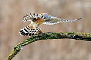 Falcon Art - Kestrel Falcon Hunting on the Wing by Scott  Linstead