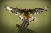 Flapping Prints - Kestrel on Final Approach Print by Andy Astbury