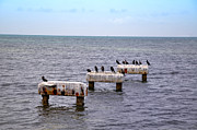 Cormorants Prints - Key West Black Ducks Print by Bill Cannon