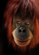 Orangutan Photos - Kiani by Animus Photography