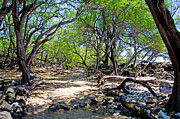 La Perouse Bay Prints - Kiawe trees -2 Print by Keith Ducker