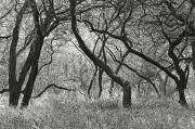 Entangled Photos - Kiawe Trees by Greg Vaughn - Printscapes