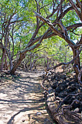 La Perouse Bay Prints - Kiawe Trees Print by Keith Ducker