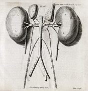 Transactions Framed Prints - Kidney Anatomy, 18th Century Framed Print by Middle Temple Library