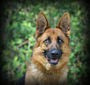 Shepherds Posters - Kiera - German Shepherd Poster by Sandy Keeton