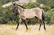 Bighorn Prints - Kiger Colt Print by Larry Ricker