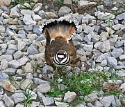 Arkansas Metal Prints - Kildeer and Nest Metal Print by Douglas Barnett