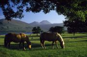 Paddocks Prints - Killarney,co Kerry,irelandtwo Horses Print by The Irish Image Collection