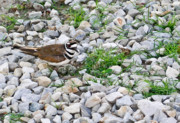 Arkansas Prints - Killdeer 1 Print by Douglas Barnett