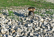 Killdeer Metal Prints - Killdeer 3 Metal Print by Douglas Barnett