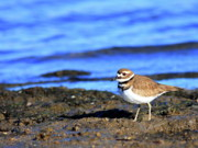 Killdeer Metal Prints - Killdeer . 40D4101 Metal Print by Wingsdomain Art and Photography