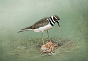Shorebird Posters - Killdeer and Worm Poster by Betty LaRue