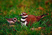 Killdeer Art - Killdeer and Young by Denny Bingaman