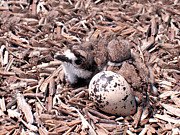 Killdeer Prints - Killdeer Babies Print by Angie Rea