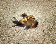 Killdeer Photos - Killdeer Broken Wing Act by Linda Tiepelman