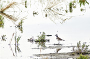 Hunting Bird Prints - Killdeer Print by James Steele