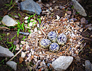 Killdeer Photos - Killdeer Nest by Cricket Hackmann