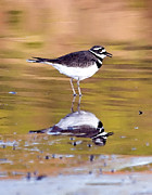 Killdeer Metal Prints - Killdeer Reflection Metal Print by Betty LaRue