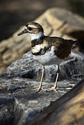 Killdeer Metal Prints - Killdeer Metal Print by Saija  Lehtonen
