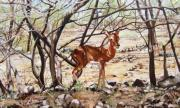 Gazelle Paintings - Kilpspringer - Samburu by Mamta Panara
