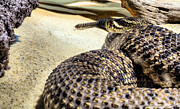 Rattlesnake Photos - King Adamanteus by JC Findley