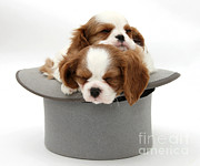 Sleeping Dog Posters - King Charles Spaniel Puppies Poster by Mark Taylor
