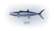 King Drawings Prints - King Mackerel Print by Ralph Martens