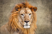 Critically Endangered Species Prints - King of Beasts portrait of a lion Print by Louise Heusinkveld