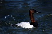 Birding Photos - King Of Ducks by Skip Willits