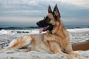 Purebreed Posters - King Of The Beach - German Shepherd Dog Poster by Angie McKenzie