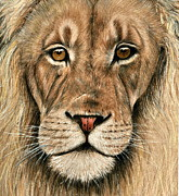 Lion Drawings Acrylic Prints - King of the jungle Acrylic Print by Heidi  Kriel