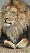 Bigcat Photos - King of the jungle by Mary Ivy