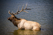 Elk Photographs Photo Prints - King of the Lake Print by James Bo Insogna