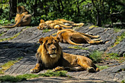 African Animals Photo Posters - King of the Pride Poster by Karol  Livote