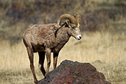 Bighorn Photos - King of the Rock by Mike  Dawson