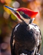 Pileated Woodpecker Posters - King of the Woods Poster by Paul W Sharpe Aka Wizard of Wonders