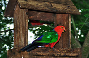 Red And Green Photo Metal Prints - King Parrot - Male Metal Print by Kaye Menner